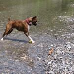 ボクサー犬、吉野川(紀の川)をゆく