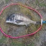チヌ(黒鯛)釣りに紀の川へ