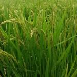 への字稲作