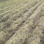 緑肥の枯れ具合