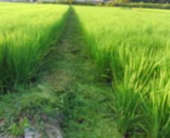 畦の雑草刈り