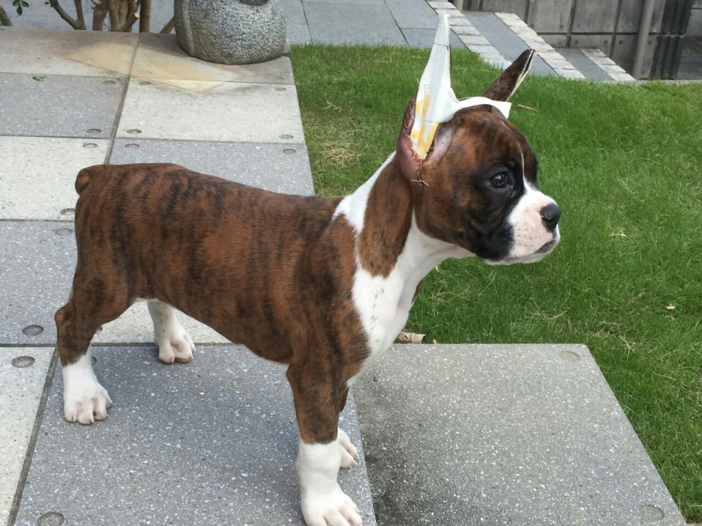 二代目ボクサー犬サスケ
