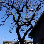 目の前にある柿の木