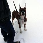 ボクサー犬サスケの雪遊びと龍穴神社にお亀の湯