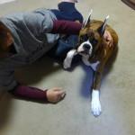 ボクサー犬の歯の点検とクリーニング
