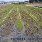 荒おこしと緑肥へアリーベッチ種まき2016年版