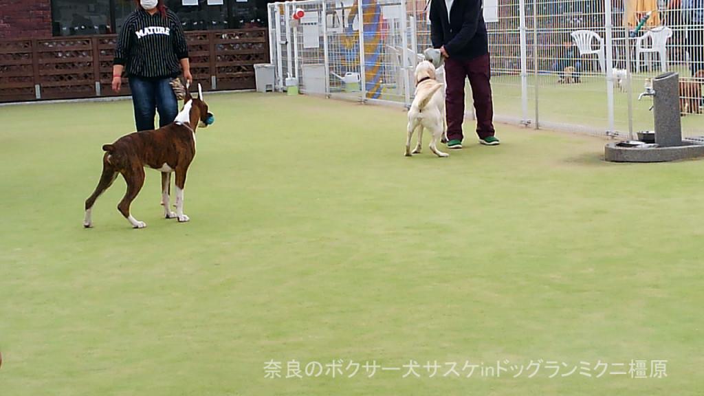 奈良のボクサー犬サスケinドッグランミクニ橿原