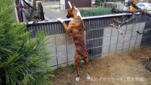 サスケ君、塀越しの覗き見