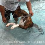 ボクサー犬九ヶ月の初プール | サスケってカナヅチかも