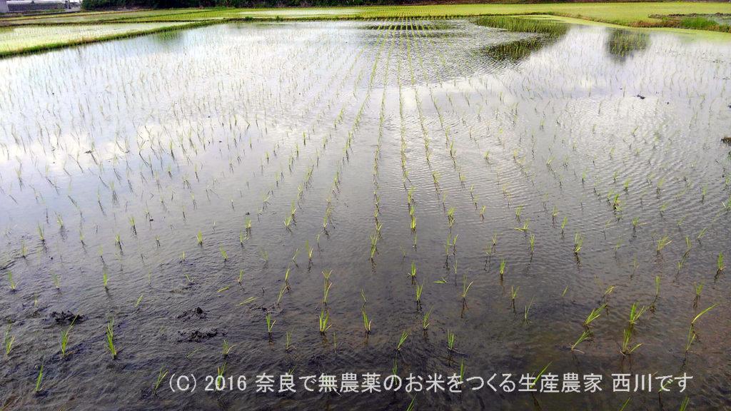 平成28年の田植えが終わりました