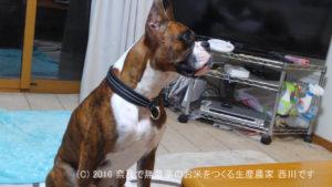 ボクサー犬サスケ君が一歳の誕生日を迎えました