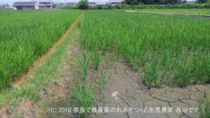 2016年田んぼの定点観測と田んぼの雑草取り | 田植え後46日経過、出穂30日前