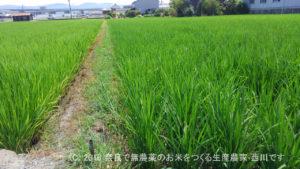 2016年田んぼの定点観測と田んぼの雑草取り   田植え後53日経過、出穂24日前
