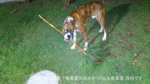 ボクサー犬による自宅の植木剪定