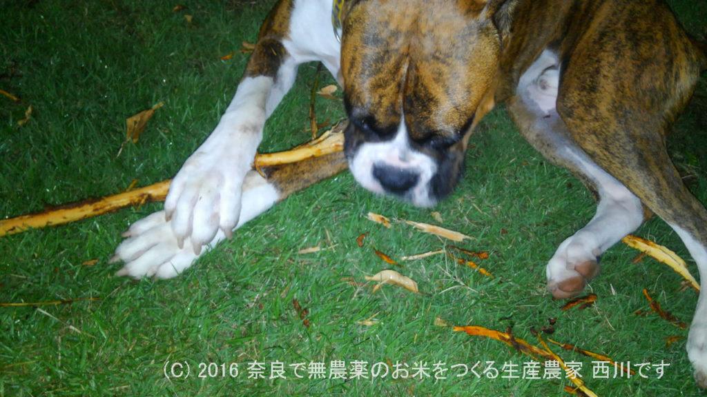 ボクサー犬による庭木バリバリと天然アユ