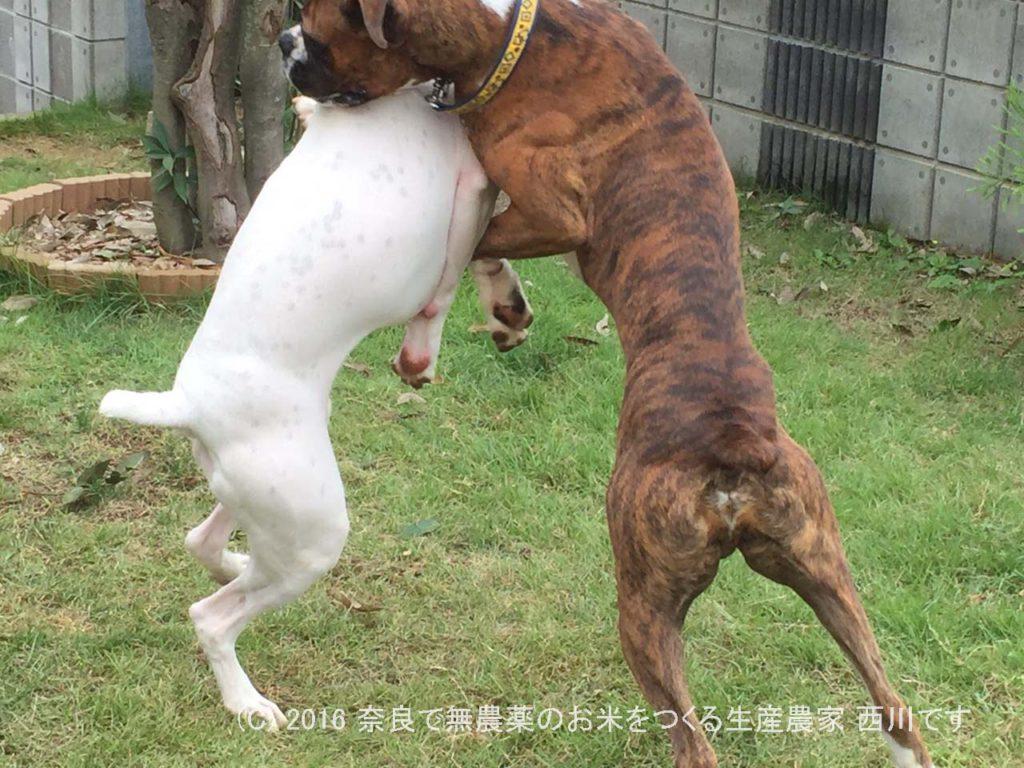 ボクサー犬ヴァレリちゃんが遊びに来てくれた | サスケ過去最高に嬉しい一日