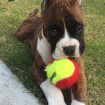 ボクサー犬の赤ちゃん