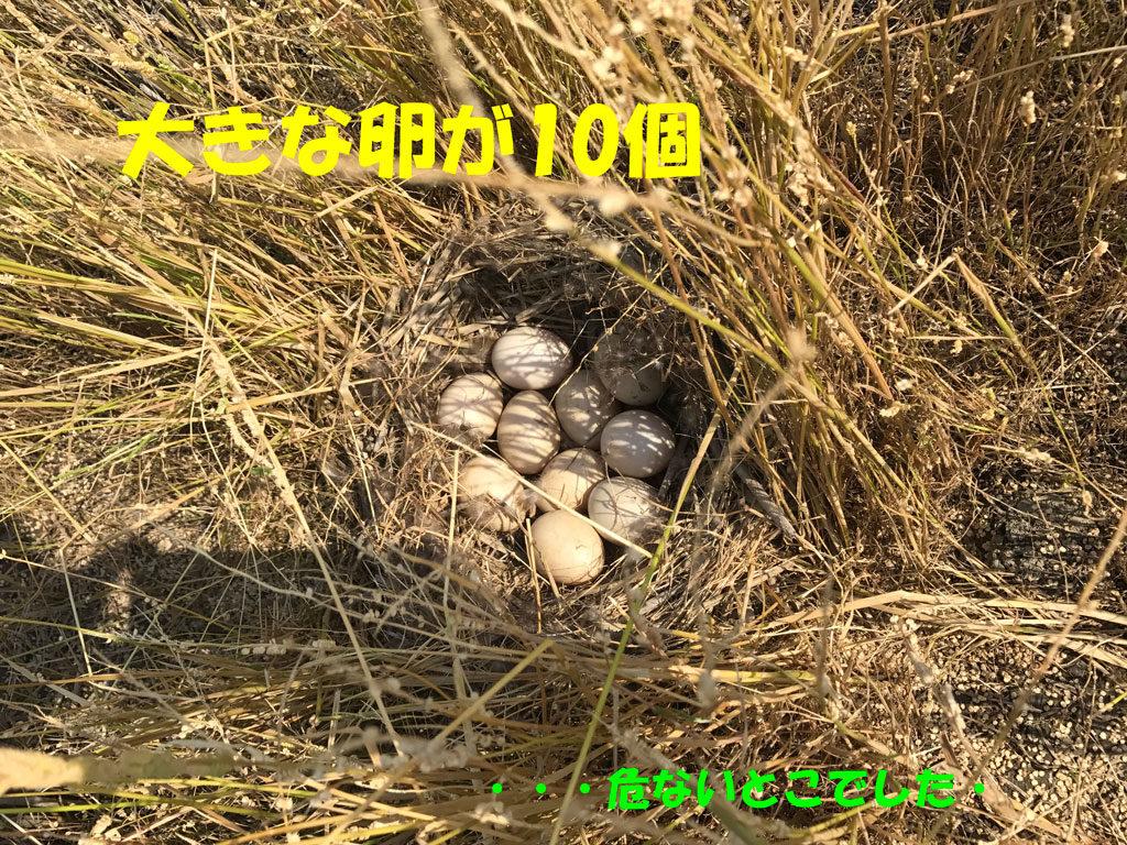 鴨の卵が10個