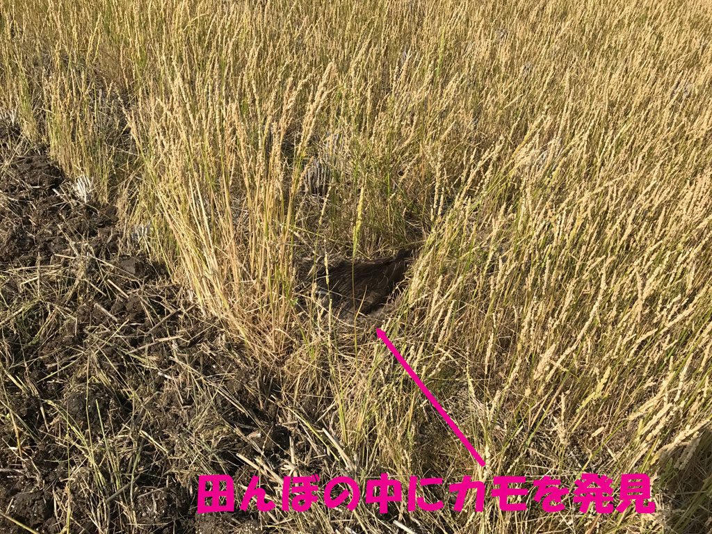 田んぼの中にカモを発見