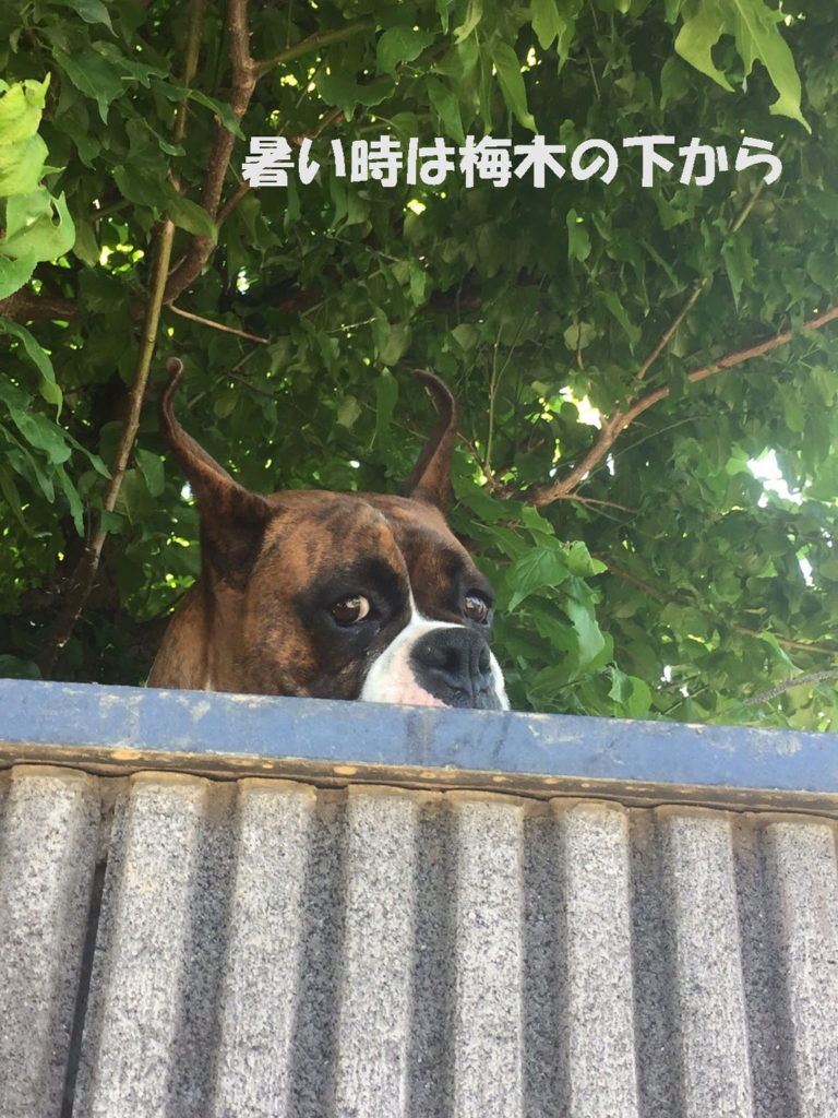 暑い時は木の下から監視