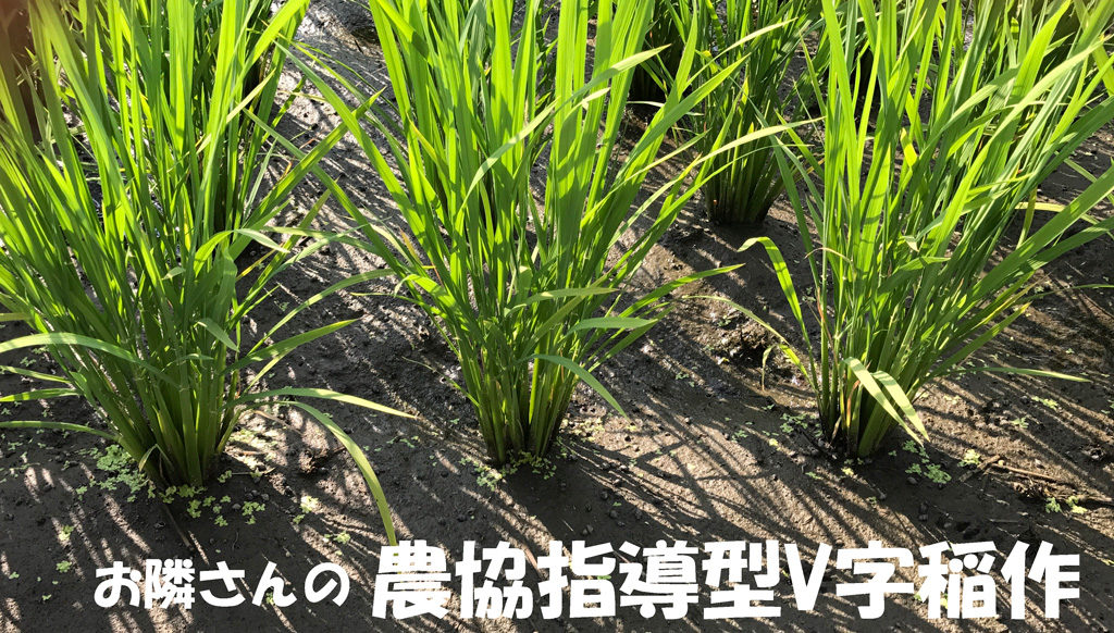 お隣りさんのV字型稲作
