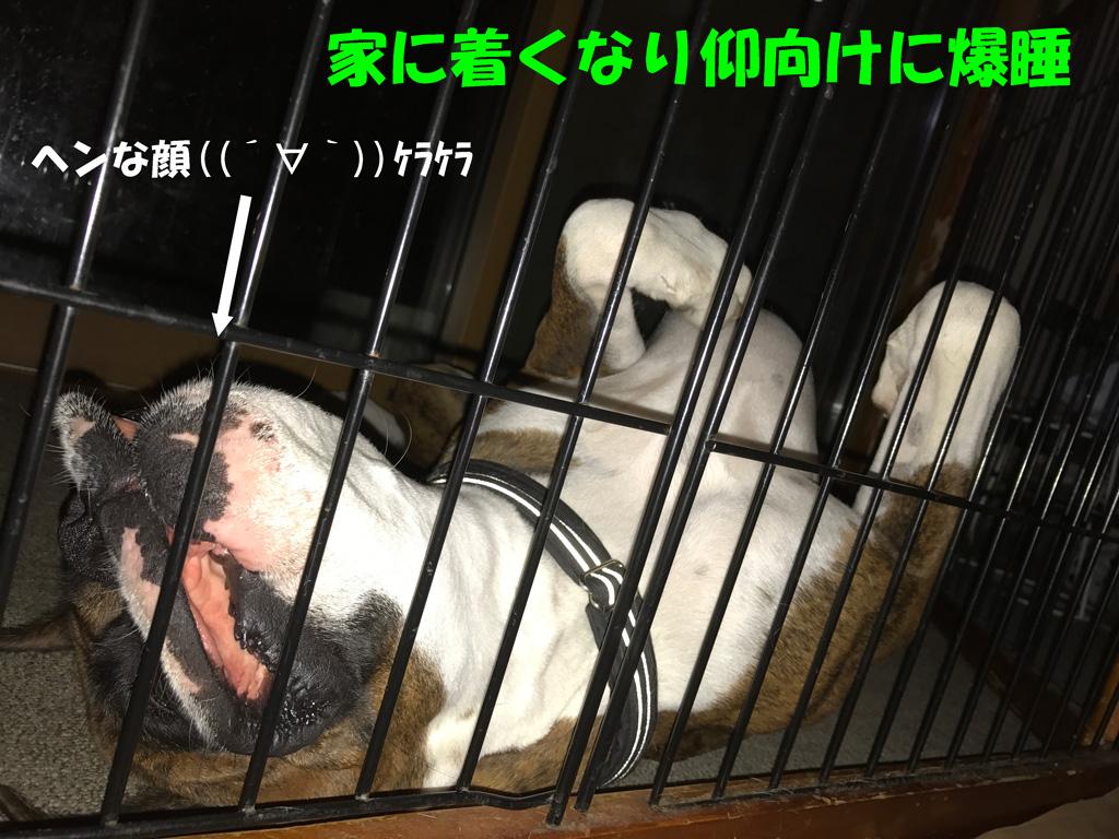 仰向け寝のボクサー犬