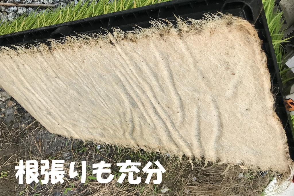 田植え直前の苗