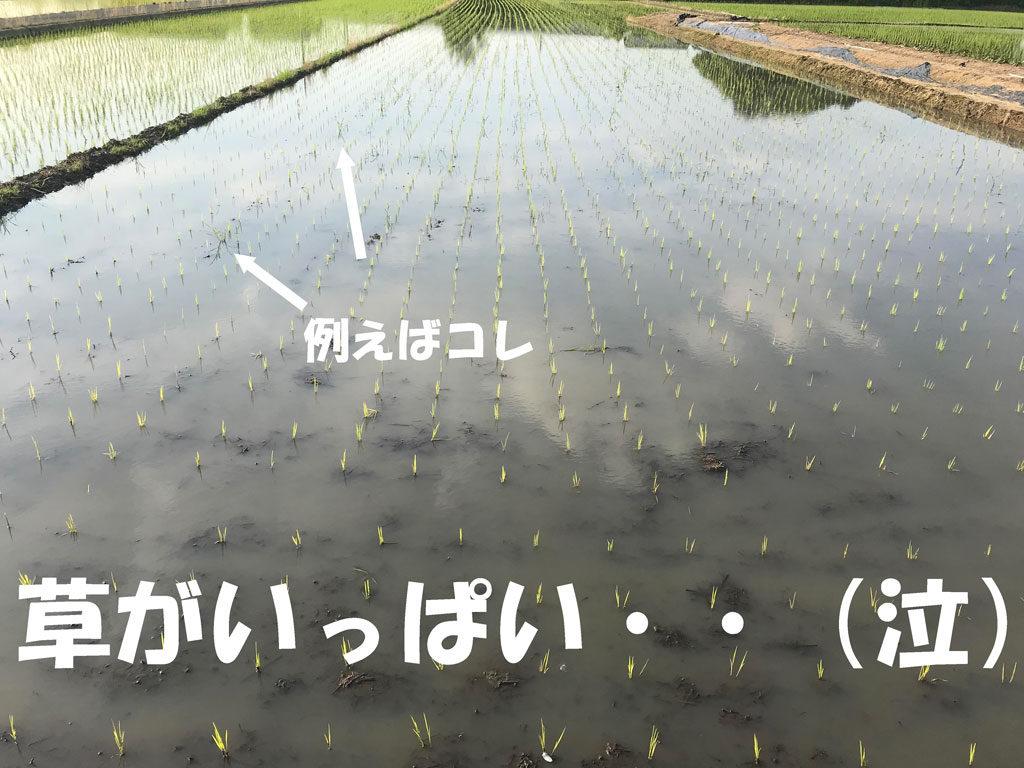 米づくりは植えてからが大変、大変