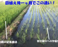 田植え後一ヶ月でこの違い、への字農法と従来農法