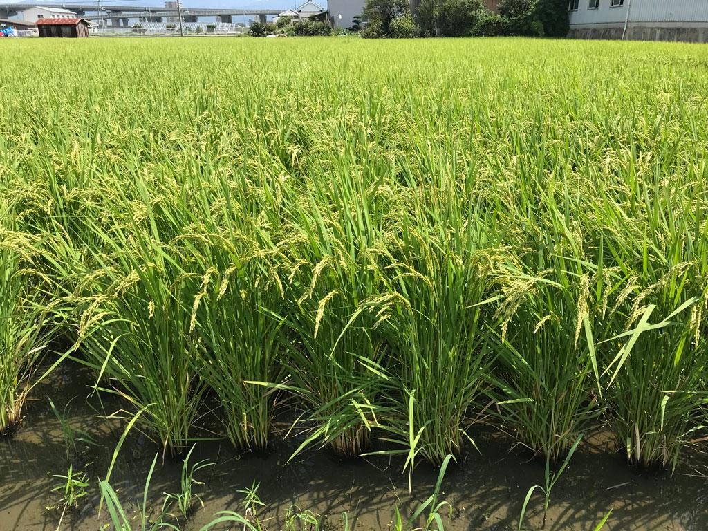 傾いた稲が自力で復活