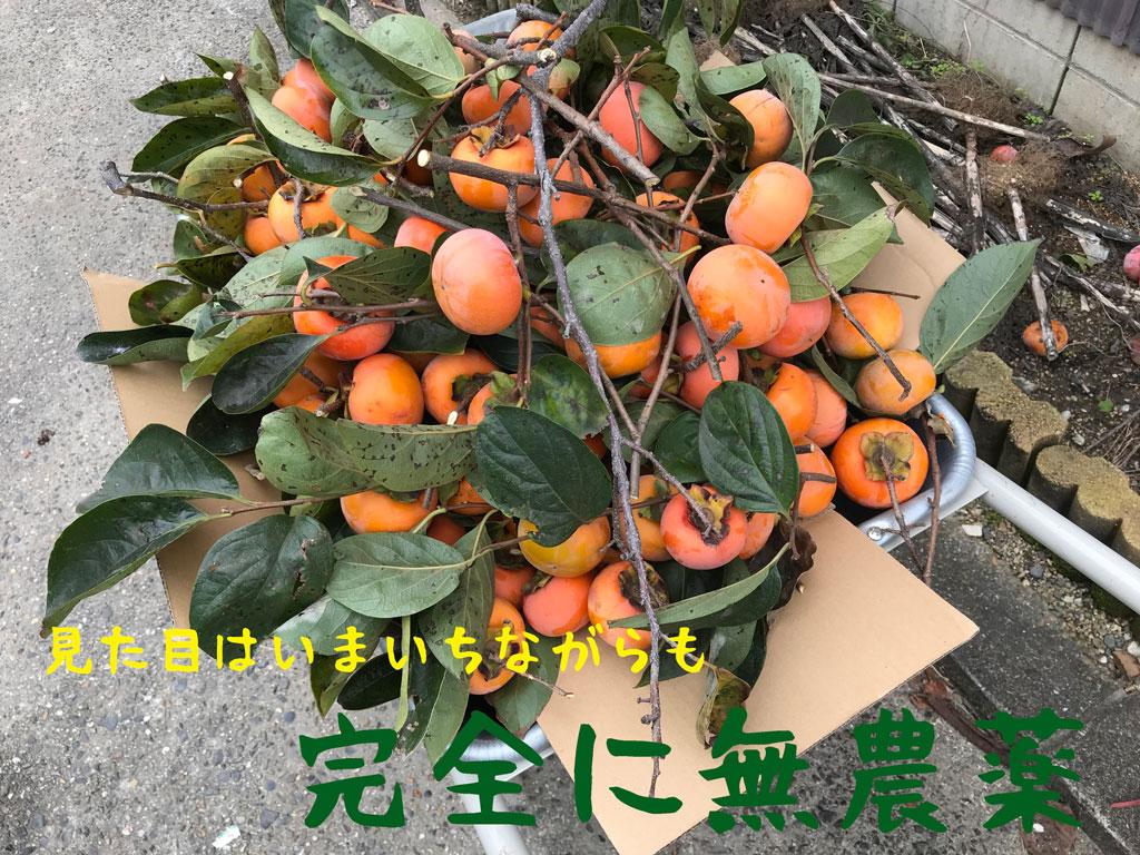 樹齢百年 百年柿の収穫