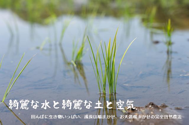 令和二年 2020年奈良県発限りなく無農薬なへの字ヒノヒカリ稲作