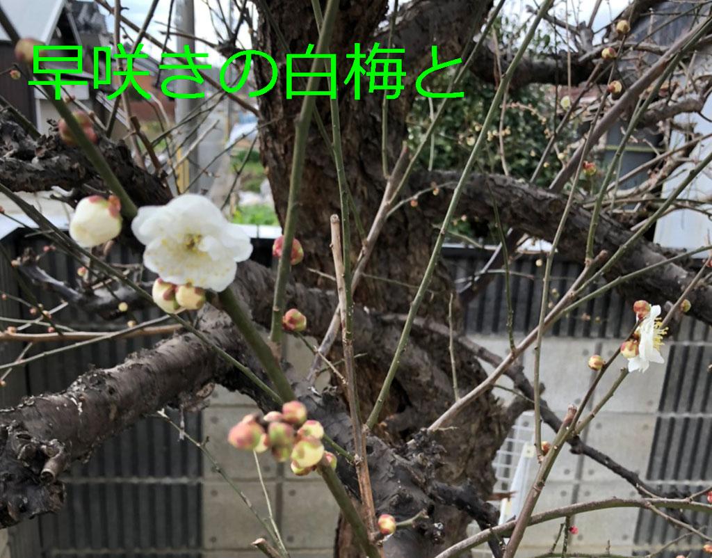 令和二年の大寒に梅が咲く