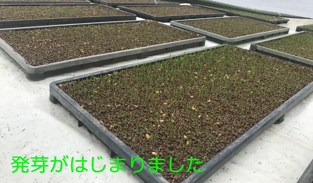籾が発芽してくれました