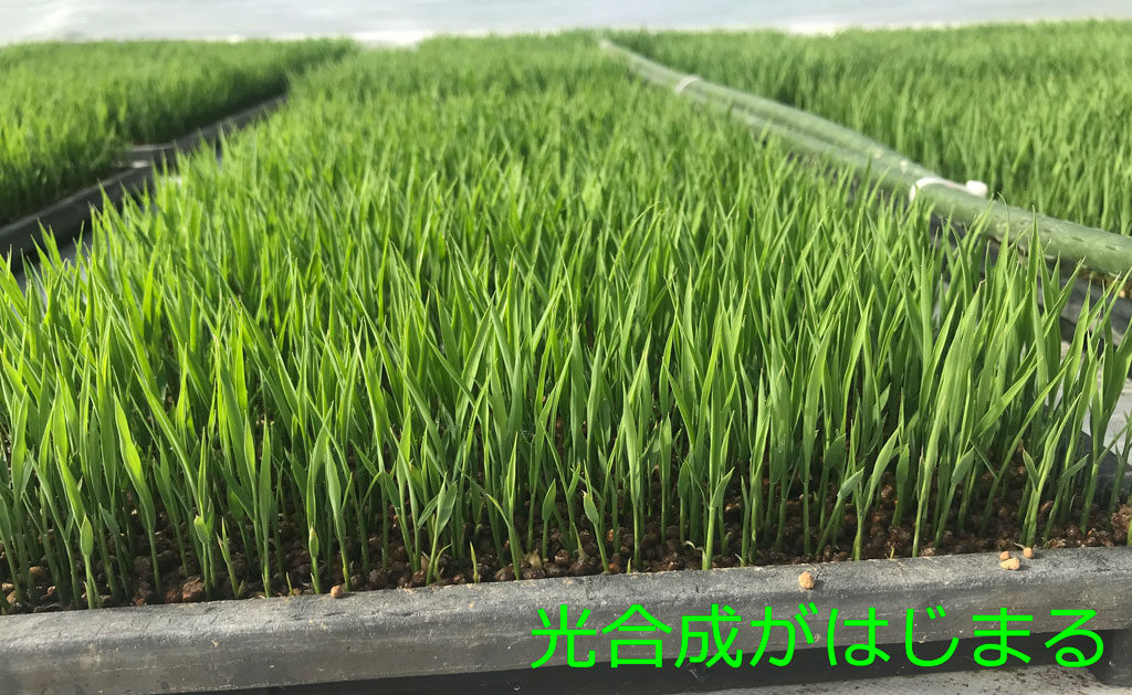 令和二年の稲作前期-苗つくりまで
