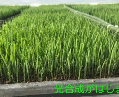 稲の光合成が始まりました