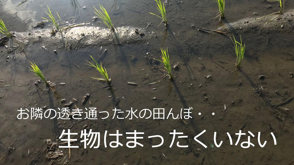 令和二年の稲作-田植え以降