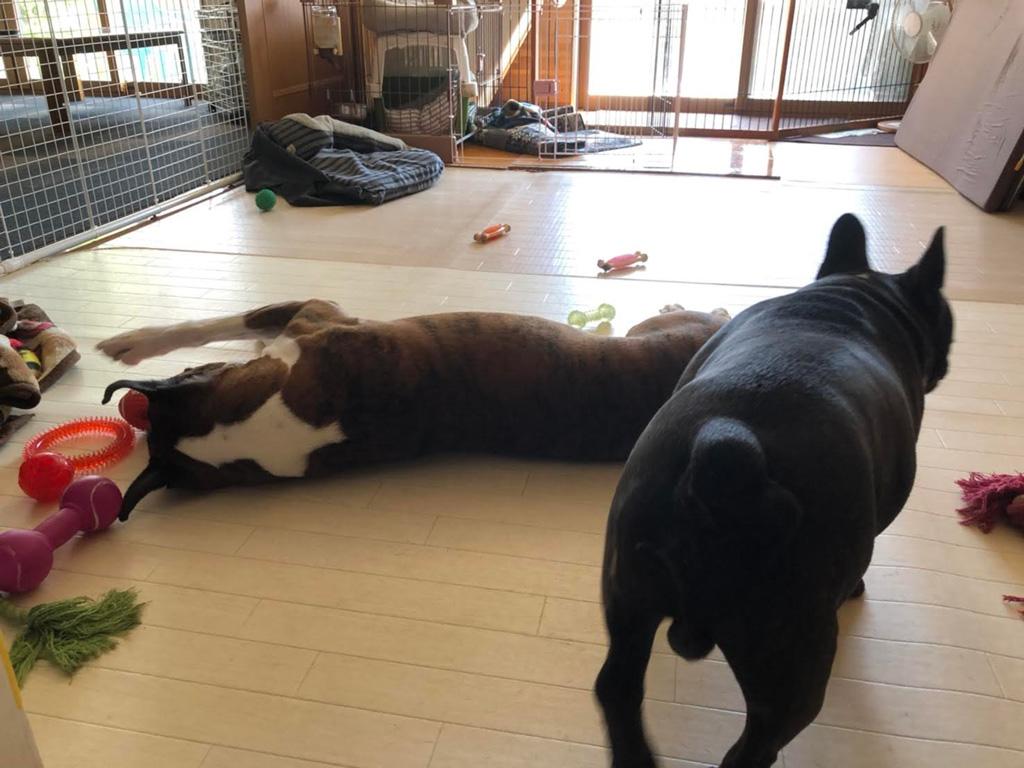 ボクサー犬サスケが五歳の誕生日を迎えました