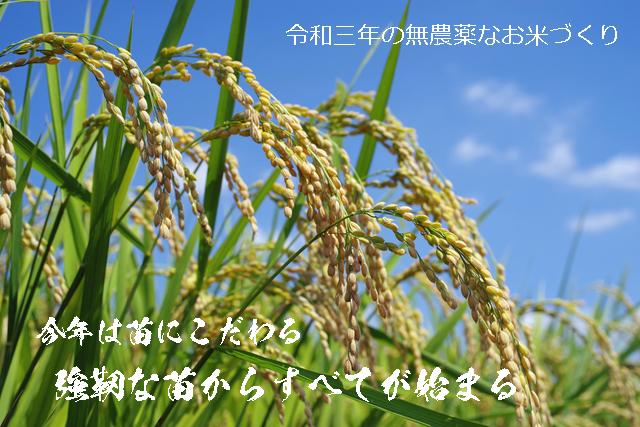 令和三年、2021年 今年は苗にこだわる奈良県発の無農薬への字稲作