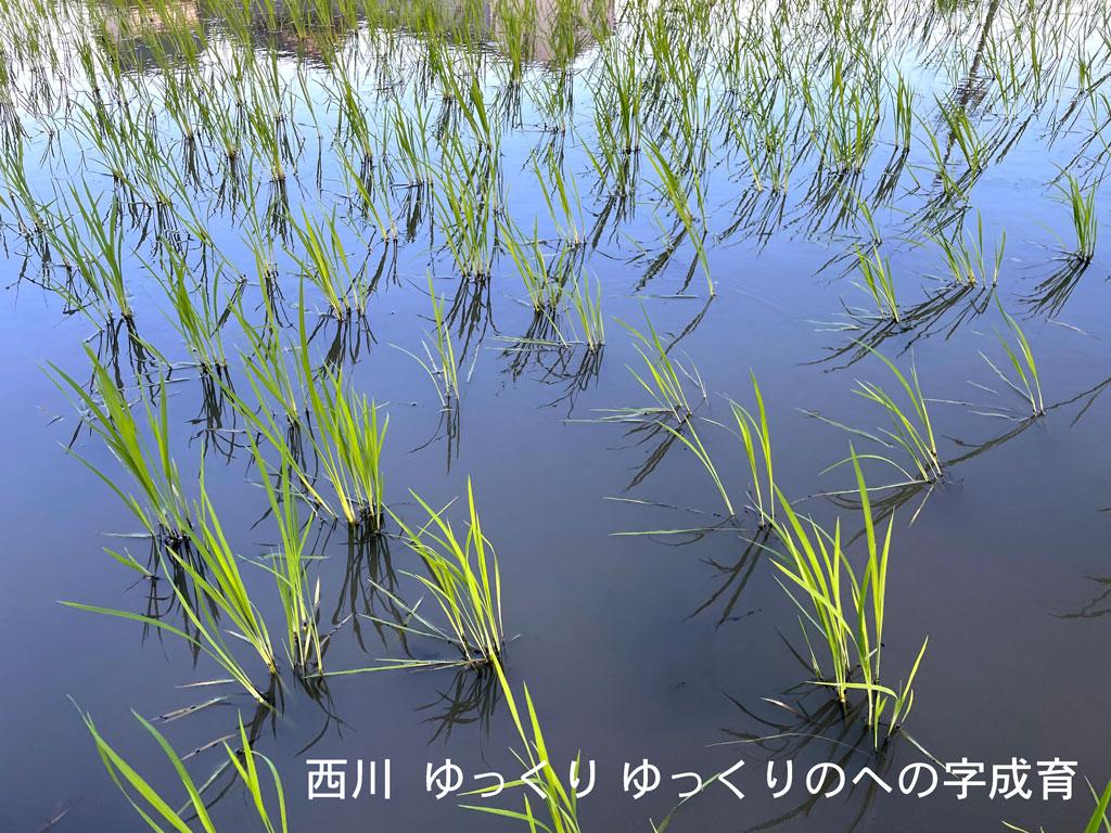 同時期の同品種とは到底思えないほど寂しい西川の田んぼです。への字農法を始めた頃は本当にこんなんで良いのか不安でしたが、今は逆に安心感を持てる景色となりました。目に見える部分は寂しくても稲たちは養分を求めて深く深く根を伸ばしてます。周りの田んぼよりもはるかに深く。
