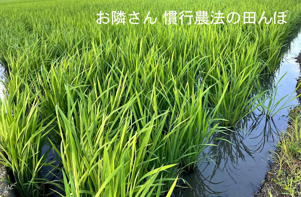 田植え後三週間で隙間が無くなった超過密なお隣さんの田んぼ。良く育ったと本人は満足気に話すが、本当にそうなのでしょうか?風が通らず光も入らない。稲たちにとって決して良い環境とは思えないですね。