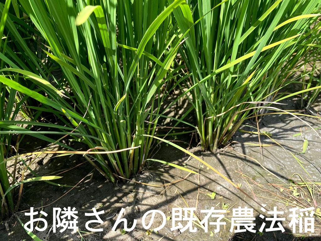 こちらはお隣さんの従来農法による稲姿。チッソ切れなのか葉色も急に落ちてきました